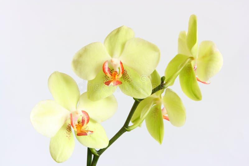 De Orchidee van Phalaenopsis royalty-vrije stock foto