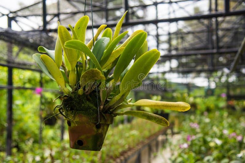 De orchideebloem hangt in de pot bij de serre stock afbeeldingen
