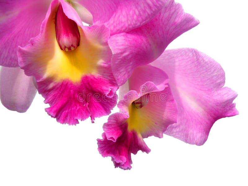 De orchideebloem van Cattleya die op wit wordt geïsoleerdh stock foto