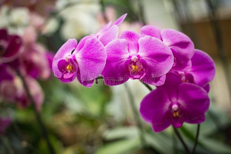 De orchideebloemen die van Ð'eautiful purpere Phalaenopsis in een serre groeien stock afbeeldingen