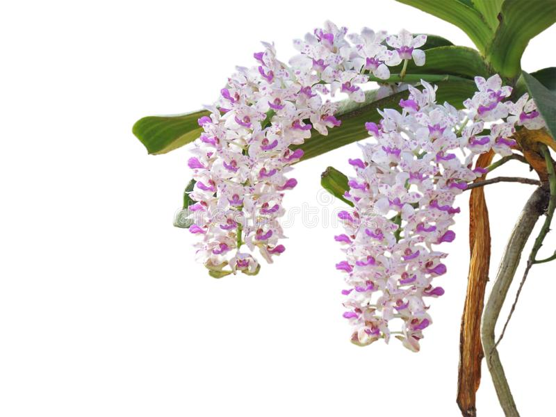 De orchideebloemen zijn mooie boekettenbloei op boom, wit met purpere punt van Rhynchostylis Gigantea Lindl Ridl stock fotografie
