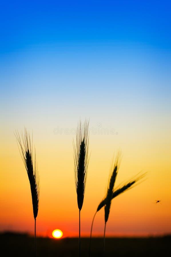 De oren van de rogge bij zonsondergang stock foto