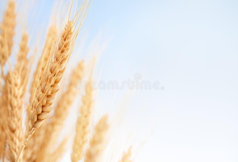 De oren van de tarwe in het landbouwbedrijf stock foto