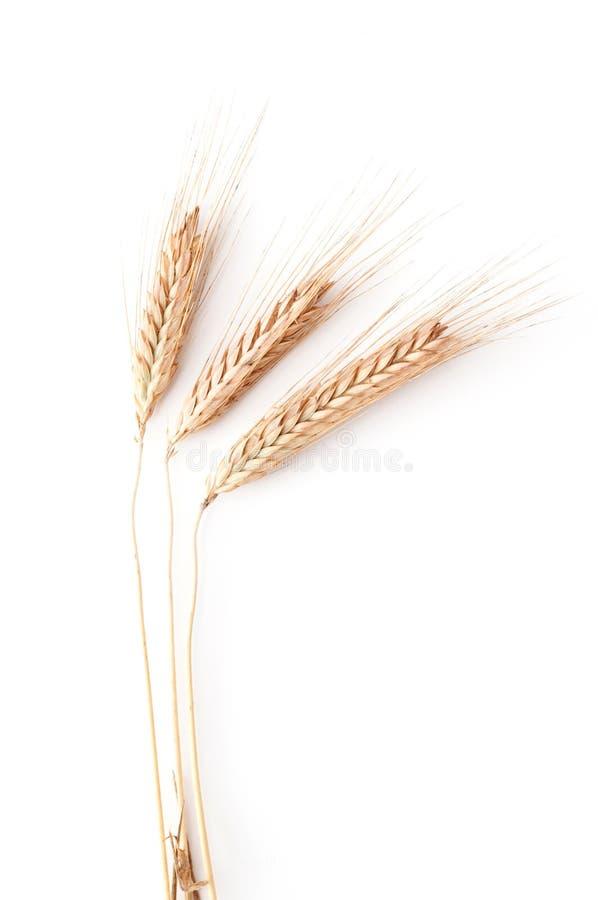 De oren van de tarwe op witte achtergrond stock fotografie
