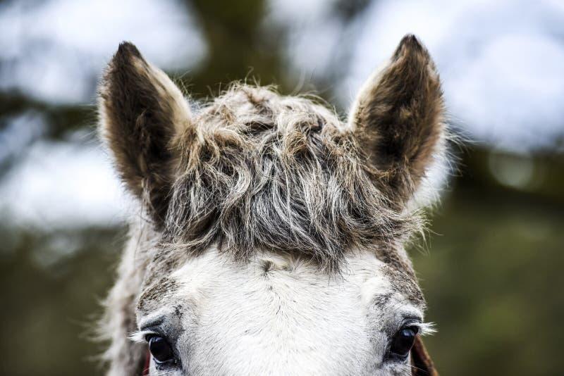 De oren van het paard luisteren aan de geluiden stock afbeelding