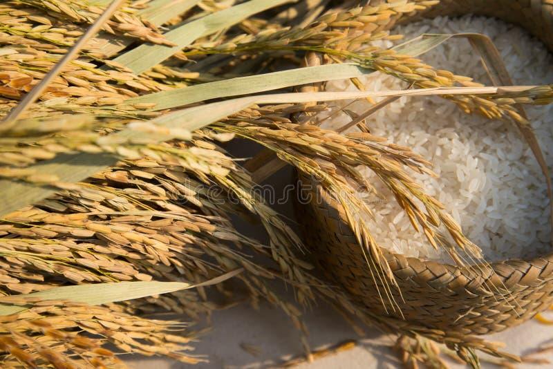 De organische rijst van de padiejasmijn stock afbeelding