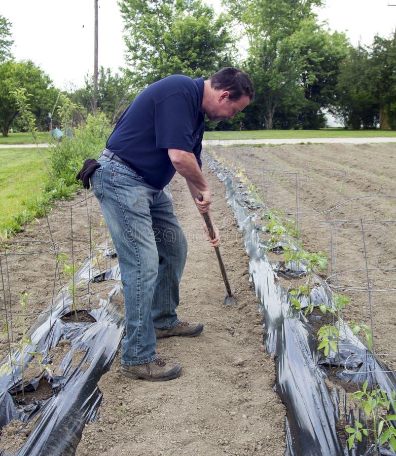De organische Tomatenplanten van Landbouwersweeding around his royalty-vrije stock foto's