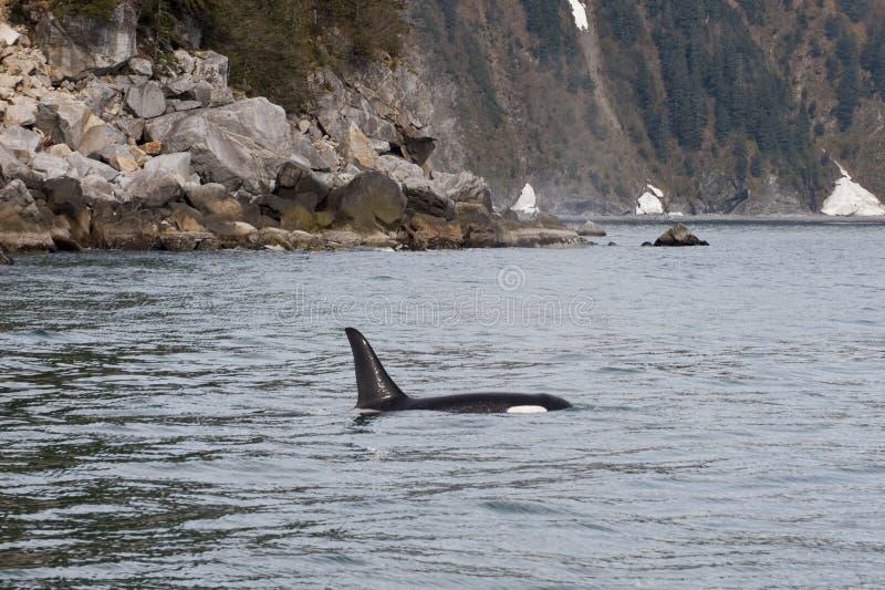 De Orka van de orka in Alaska royalty-vrije stock foto