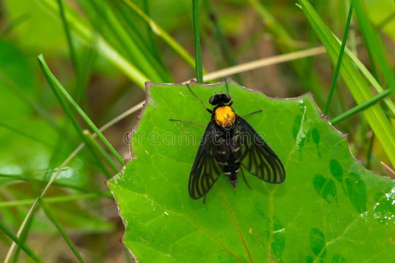 De oro-apoyado ataque desde un escondite la mosca - thoracicus de Chrysopilus foto de archivo