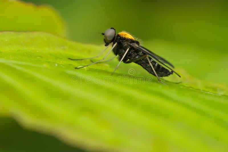 De oro-apoyado ataque desde un escondite la mosca - thoracicus de Chrysopilus imagen de archivo libre de regalías