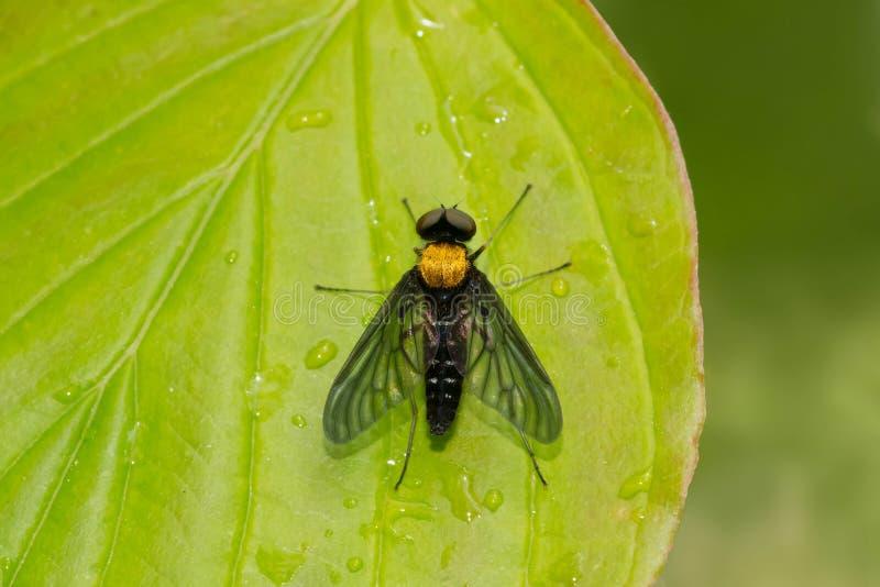 De oro-apoyado ataque desde un escondite la mosca - thoracicus de Chrysopilus fotografía de archivo libre de regalías