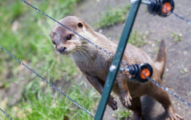 De otter in gevangenschap kijkt door de omheining van it& x27; s kooi royalty-vrije stock afbeelding