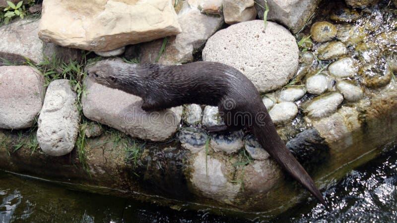 De otter na zwemt stock foto's