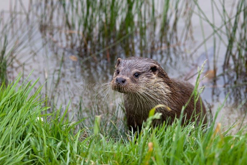 De Otter van de rivier royalty-vrije stock afbeelding