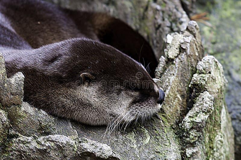 De Otter van de slaaprivier royalty-vrije stock foto
