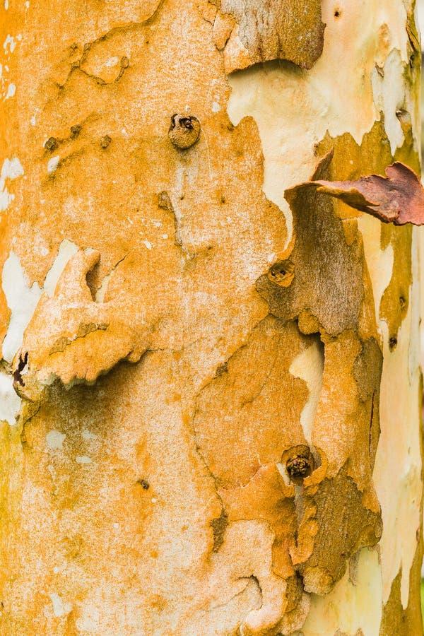 De oude achtergrond van de Kinaboomtextuur, Bruine Boomboomstam royalty-vrije stock fotografie