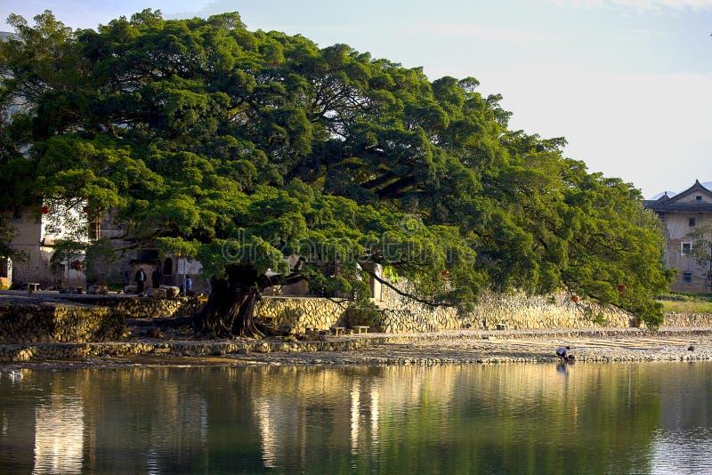 De oude banyan boom stock afbeeldingen