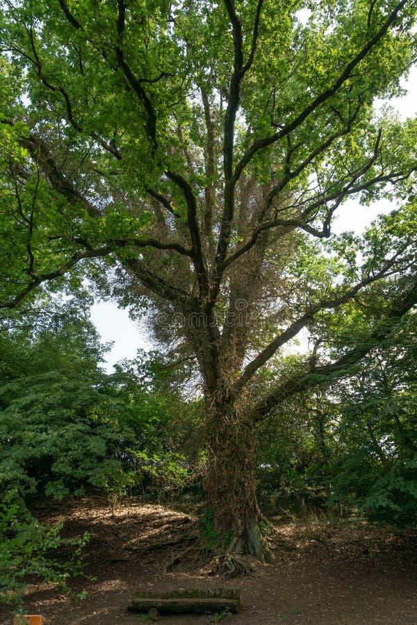 De oude boom groeit rond van Efue die - verticaal is beknot royalty-vrije stock foto