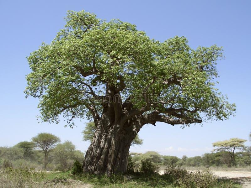 De oude boom van de Baobab stock foto