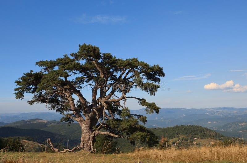 De oude Boom van de Pijnboom stock foto