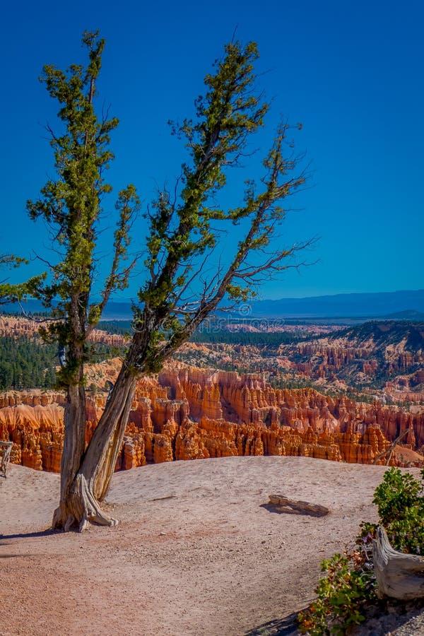 De oude die boom van de boom pinyon pijnboom in Bryce Canyon National Park Utah op een schitterende blauwe hemelachtergrond wordt royalty-vrije stock afbeeldingen