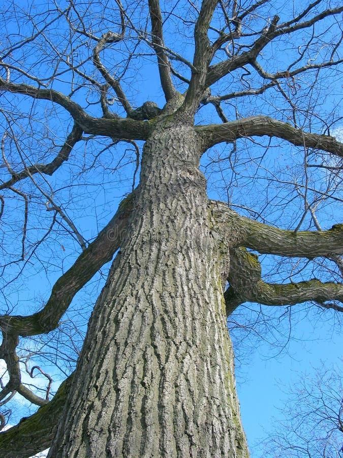 De oude eiken boomwinter stock foto's