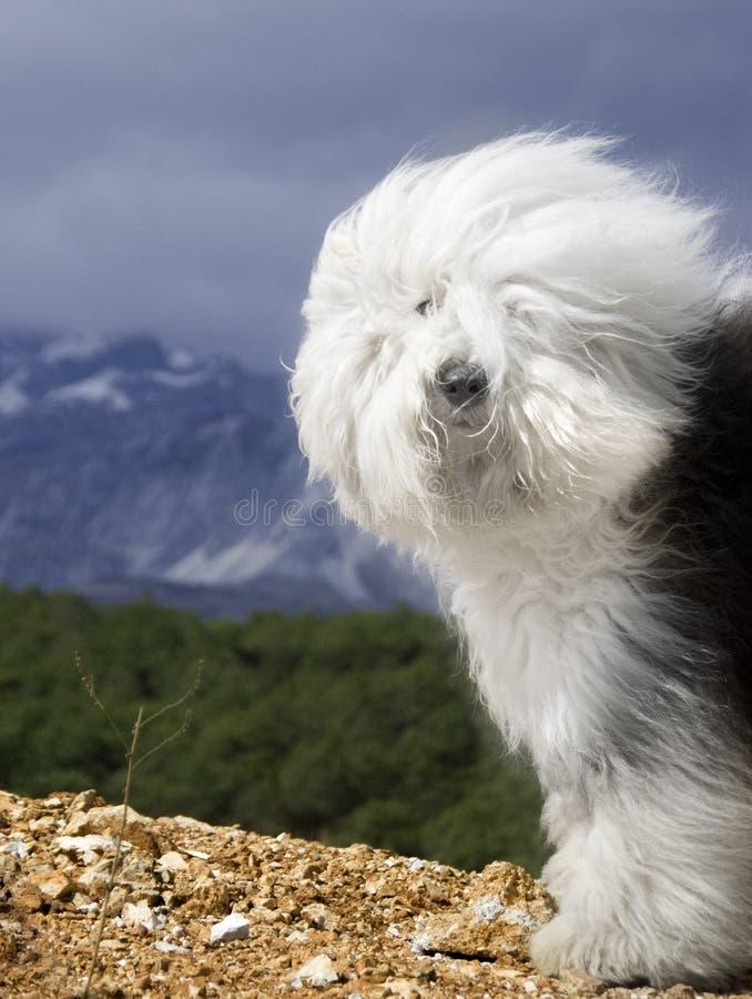De Oude Engelse Herdershond van de hond stock foto