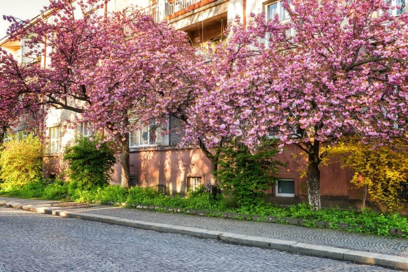 De oude Europese stad tijdens Japanse kers of sakuraboom komt, Uzhhorod, de Oekraïne tot bloei royalty-vrije stock afbeelding
