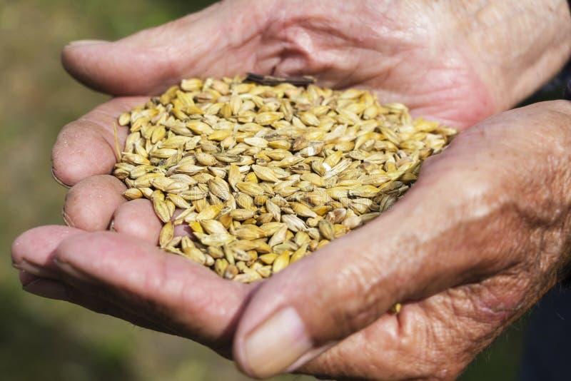 De oude handen van een landbouwer die een handvol van korrel houden Gezond dieet Landbouw stock foto's