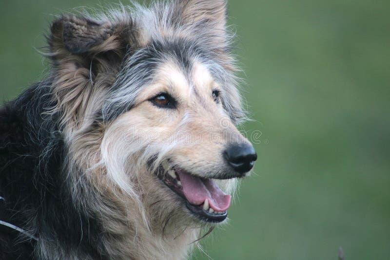 De oude hond van het land royalty-vrije stock foto
