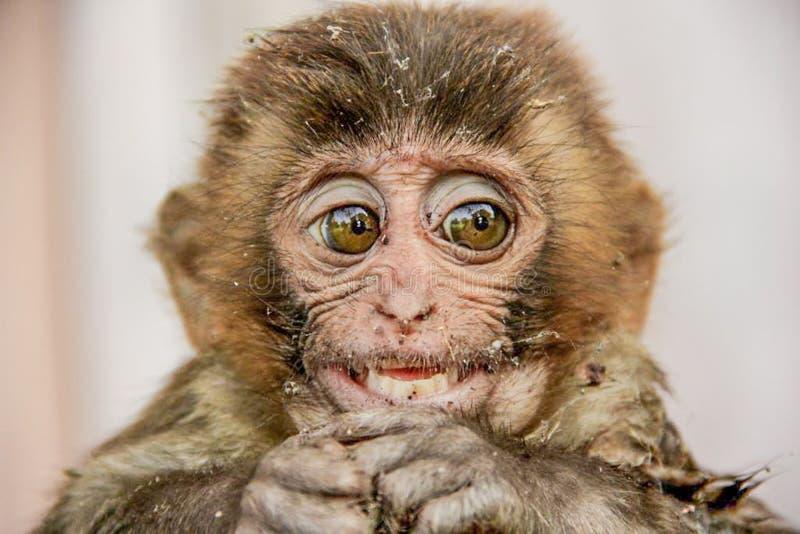 De oude resusaap van de Wereldaap macaque royalty-vrije stock afbeeldingen