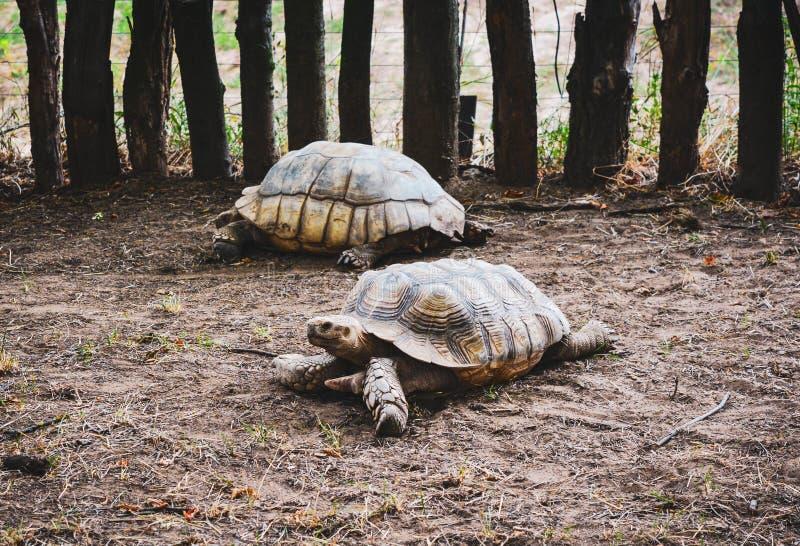 De oude schildpadden lopen stock afbeeldingen