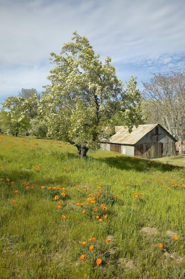 De oude schuur naast een kleurrijk boeket van de lente bloeit en van Californië Papavers dichtbij Meer Hughes, CA royalty-vrije stock foto