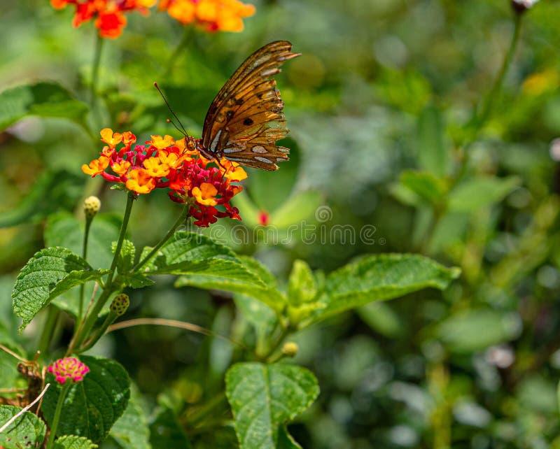 De oude Vlinder van Golffritillary: Uitgeput allen; Nog Zoekend Nectar, Seminole, Florida stock foto's