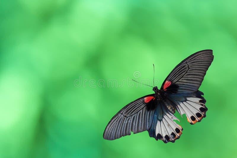 De oude vlinder van Papilio machaon of Swallowtail-de vlinder op abstracte groen boken op achtergrond stock foto's