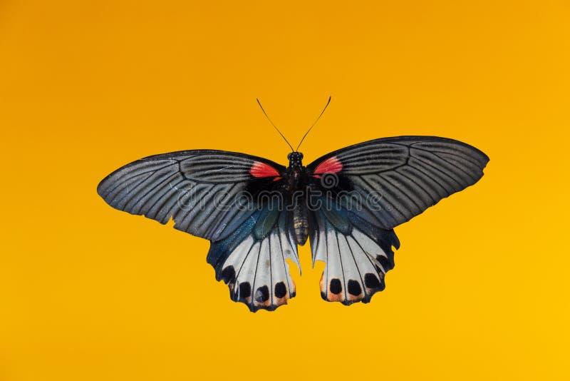 De oude vlinder van Papilio machaon of Swallowtail-vlinder op gele achtergrond royalty-vrije stock foto's