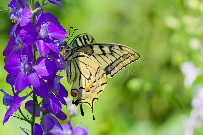De oude vlinder van Swallowtail van de Wereld op een blauwe bloem stock foto