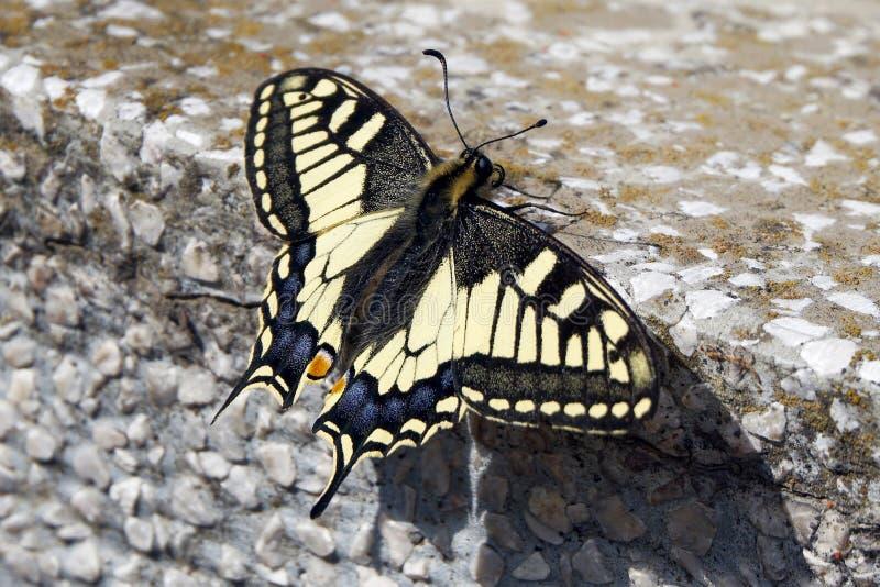 De oude Vlinder van Swallowtail van de Wereld stock afbeelding
