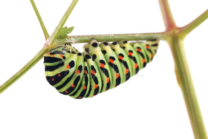 De oude vlinder van Wereldswallowtail Papilio machaon, rupsband die voor transformatie van de poppen voorbereidingen treffen stock afbeelding
