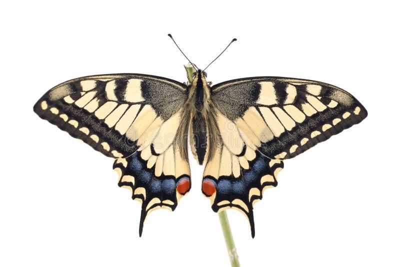 De oude vlinder van Wereldswallowtail Papilio machaon streek op een takje allen op een witte achtergrond neer royalty-vrije stock foto's