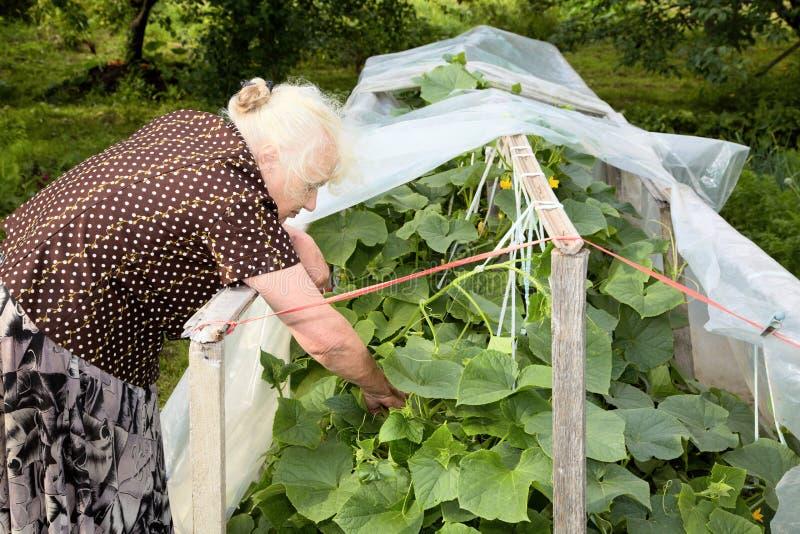 De oude vrouw in een broeikas bij struiken van Komkommers royalty-vrije stock afbeelding