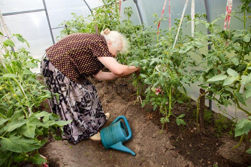 De oude vrouw in een broeikas bij struiken van tomaten stock afbeelding