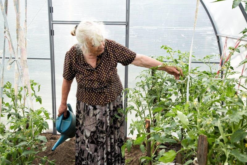 De oude vrouw in een broeikas bij struiken van tomaten stock foto's