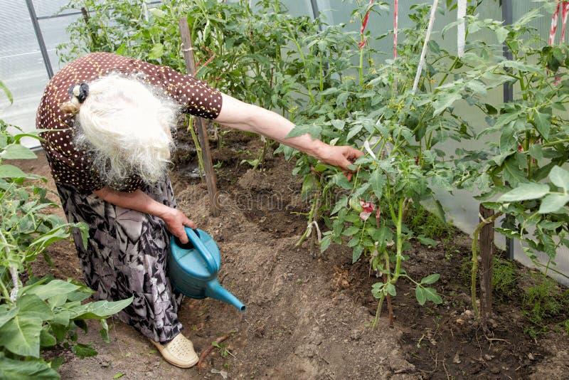 De oude vrouw in een broeikas bij struiken van tomaten stock fotografie