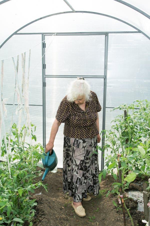 De oude vrouw in een broeikastomaten stock foto