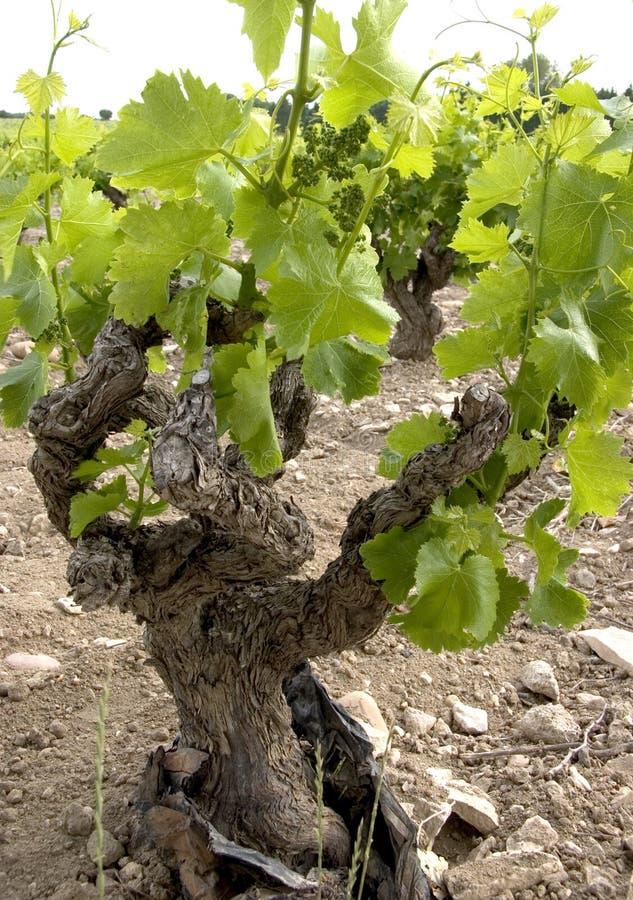 De Oude Wijnstok van Gnarly stock foto