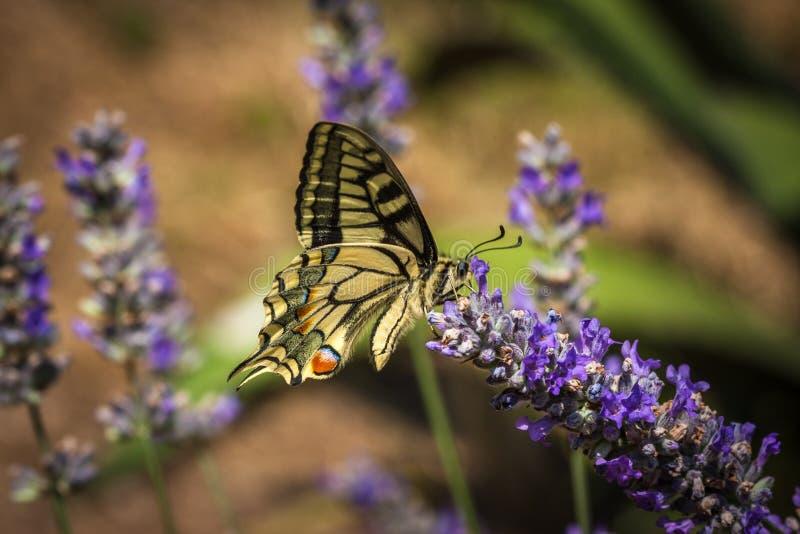De oude zitting van de Wereld swallowtail vlinder op een lavendelbloem royalty-vrije stock afbeeldingen