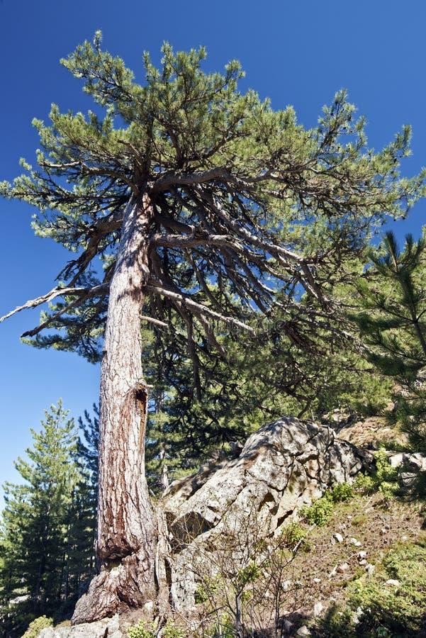 De oude Zwarte Pijnboomboom groeit van rotsen in Corsica stock afbeelding