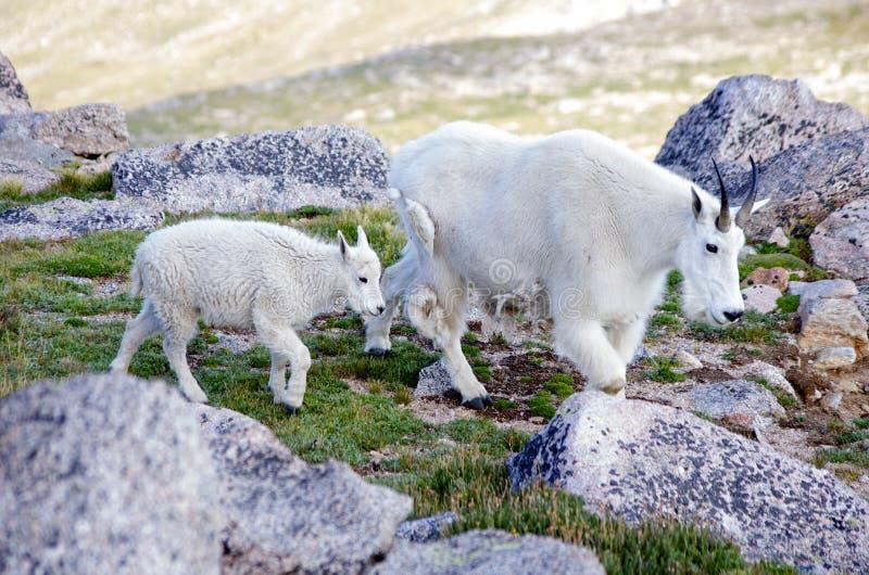 De Ouder en het Jonge geitje van de Geit van de berg royalty-vrije stock foto's