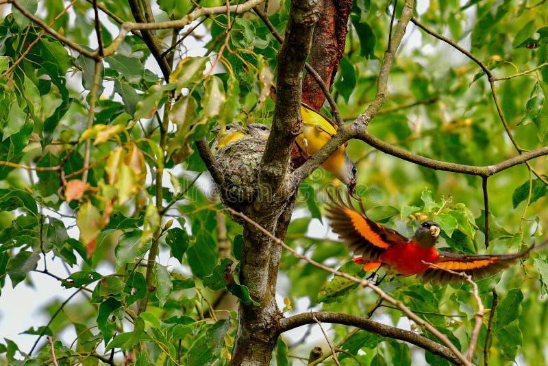 De ouders van jonge vogels werken samen om faecaliën te verwijderen stock foto's